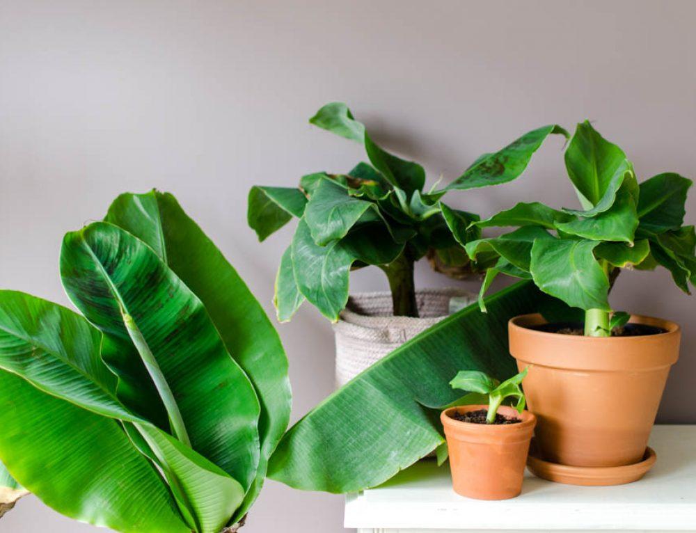Stek je bananenplant met dit stappenplan