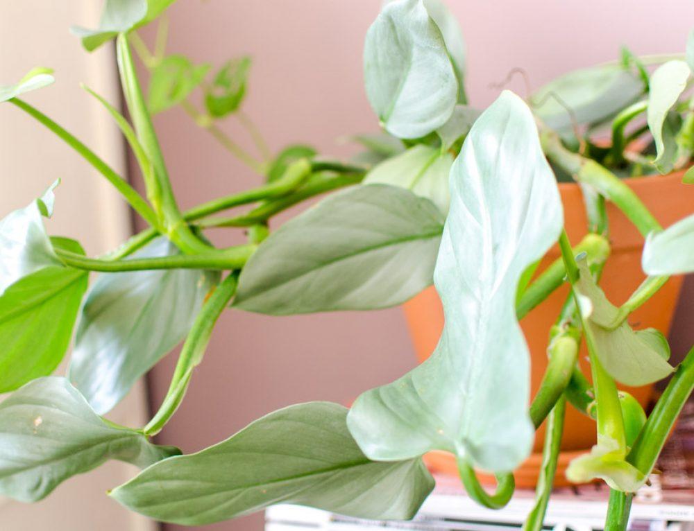 Bijzondere plant: de Philodendron Hastatum