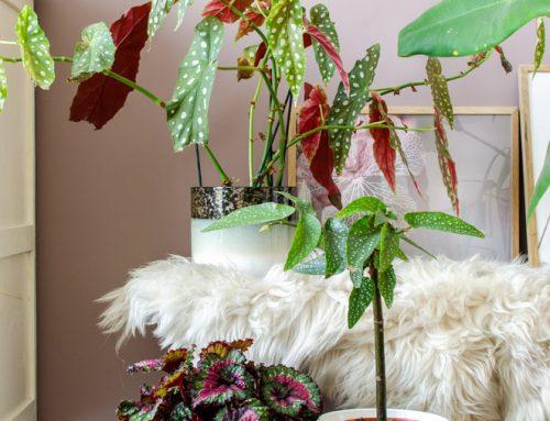 De stippenbegonia: alles over de Begonia Maculata én de Begonia Tamaya