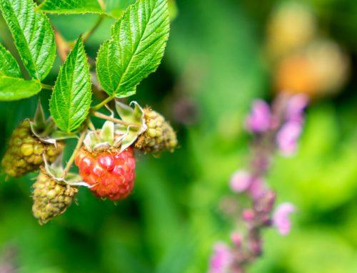 Zo kweek je fruit in een kleine tuin (+ update uit onze eigen tuin)